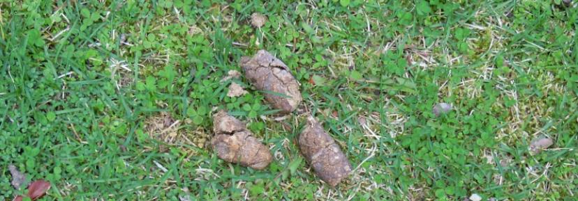 dog poop on grass